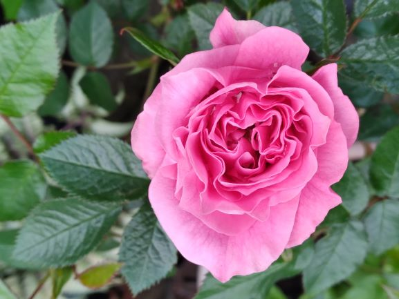Also from Brenda's Coquitlam garden, 'Danielle' a mini rose which she grows in a pot