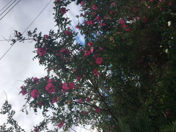 Rosa moyesii 'geranium' now a-bloom in Victoria's garden.