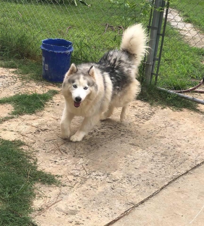 Playful Siberian Husky