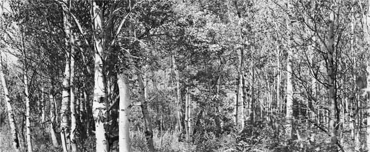 Trees, Ketchum