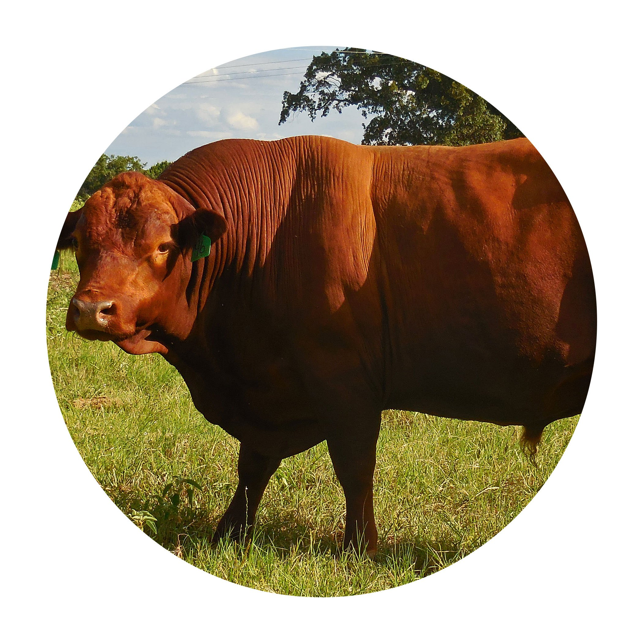 Registered South Poll Cattle