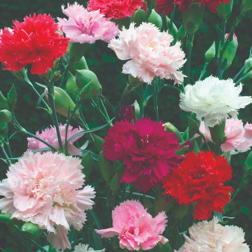 Carnation Chabaud Florist Mix