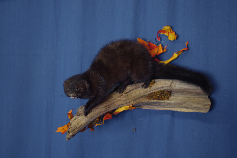 mink-running-down-limb-wall-mount