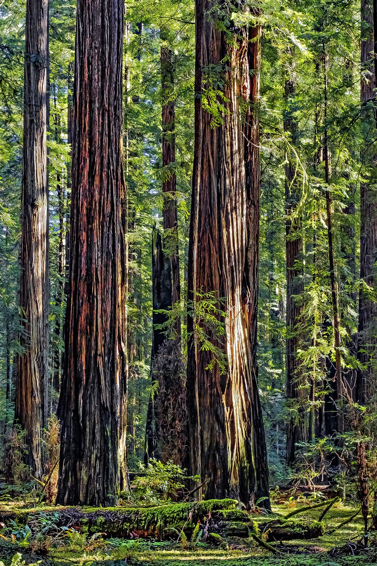 STANDING TALL - It's difficult to describe the wonder and magnificance of the California redwoods. Even the photograph doesn't begin to inspire like the real thing. If you haven't seen them, I highly recommend the trip. You will be amazed.