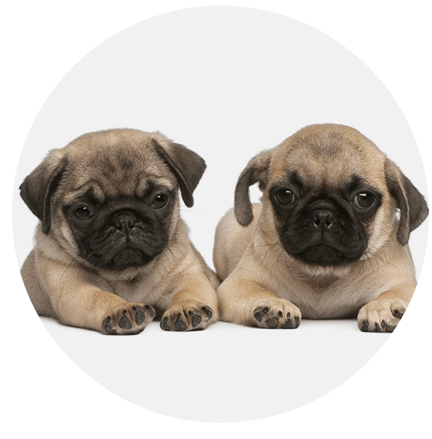 Two Pug Puppies