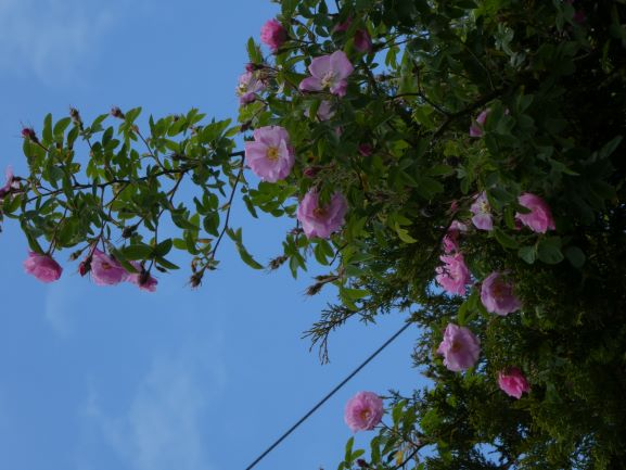 Scrambling up an evergree, another of Brenda's treasures, 'Rosa pomifera 'Duplex' 'Wolley Dod'.
