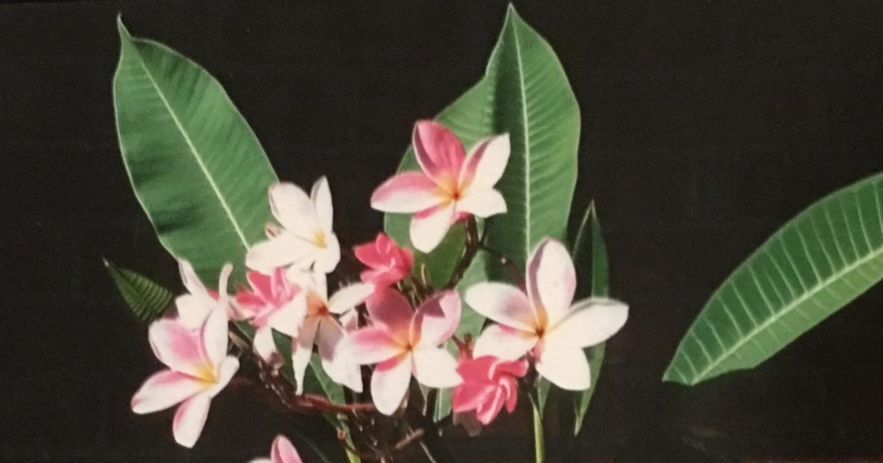 Plumeria Morange