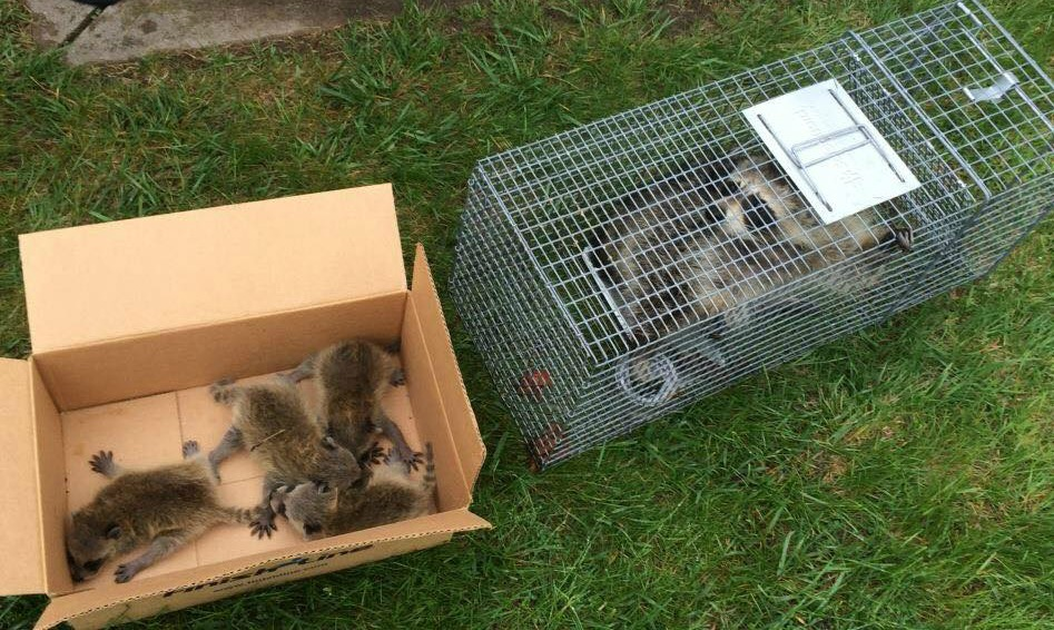 Ohio Raccoon Removal - Baby Raccoons & Mother In Attic