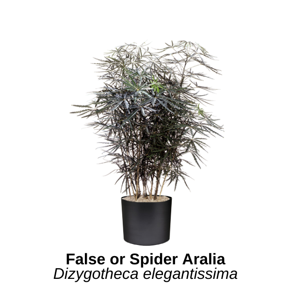 https://0201.nccdn.net/1_2/000/000/0c8/889/false-or-spider-palm.png