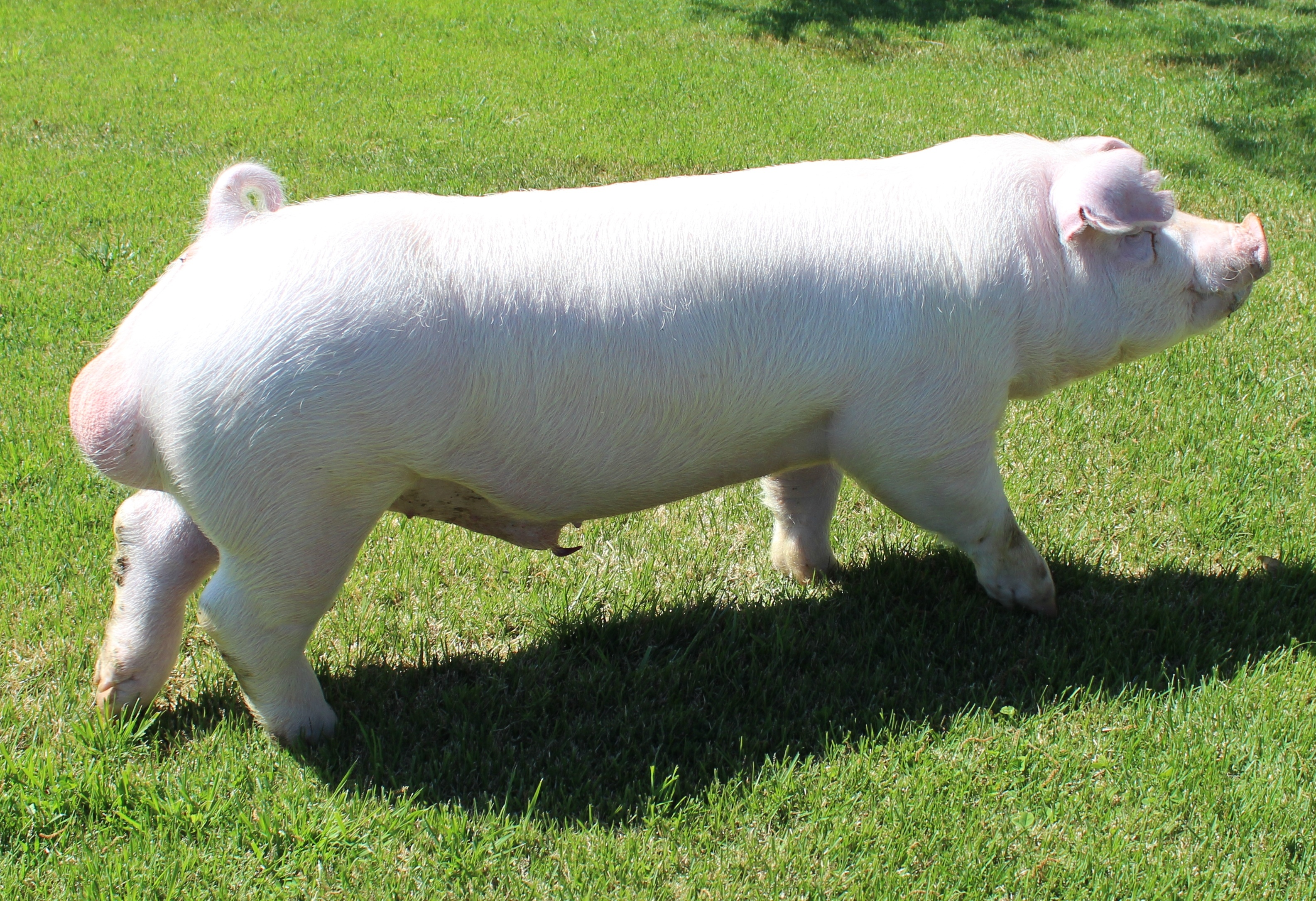 Ein 19-1 Ein X Steppin' Out Stress Status -Negative Bred by: Prater Show Pigs