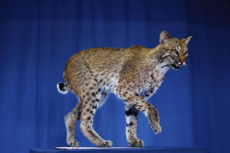 ohio-bobcat-for-the-ODNR