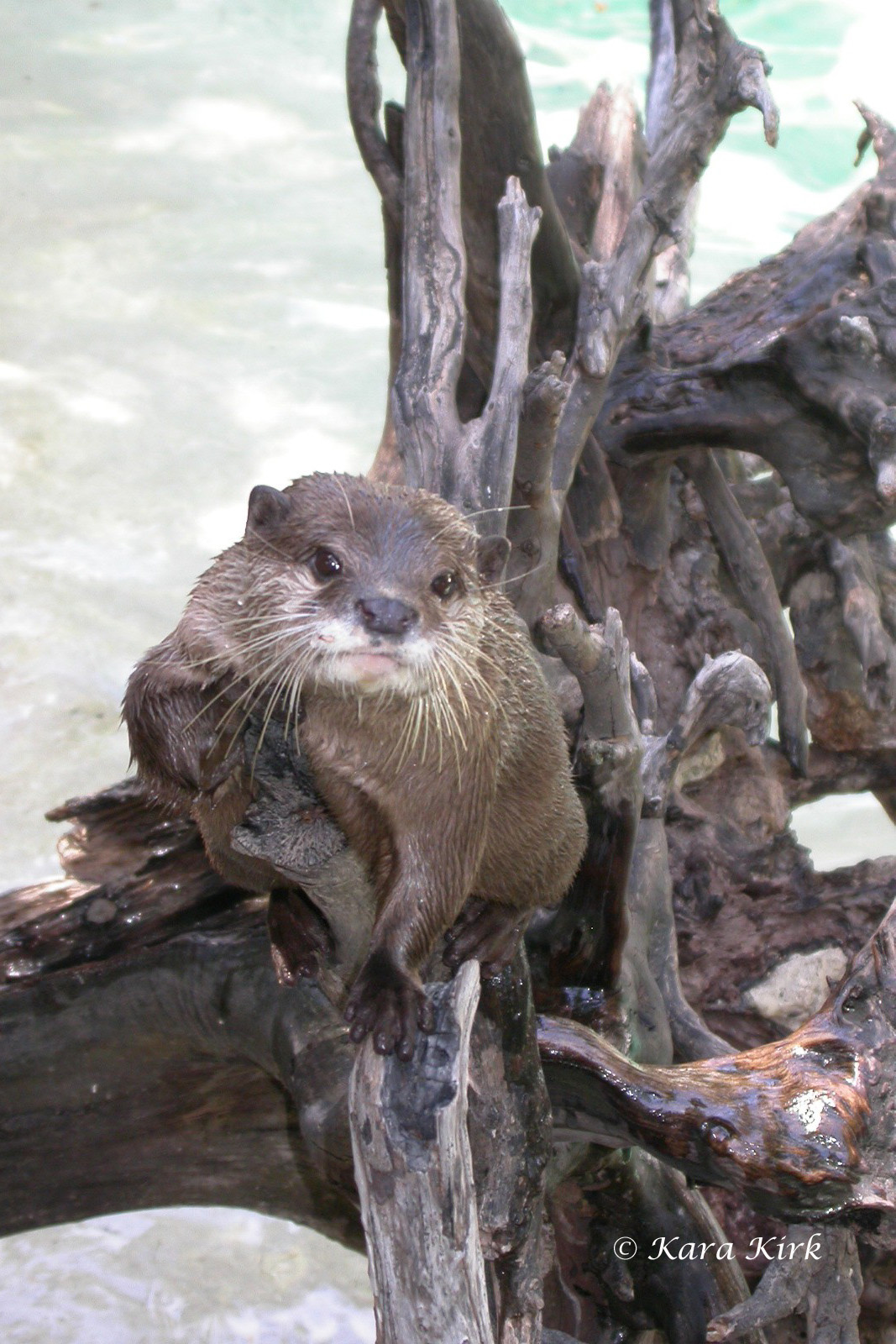 https://0201.nccdn.net/1_2/000/000/0cd/5d2/River-Otter-2-4x6-1067x1600.jpg