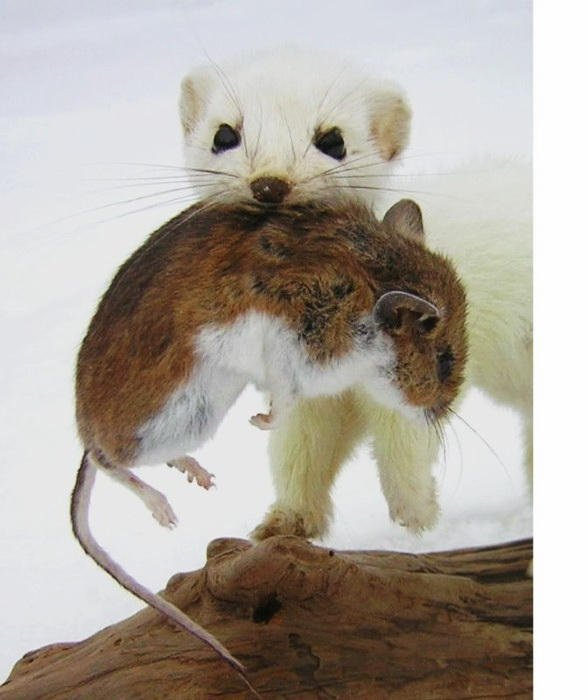 ermine-with-mouse