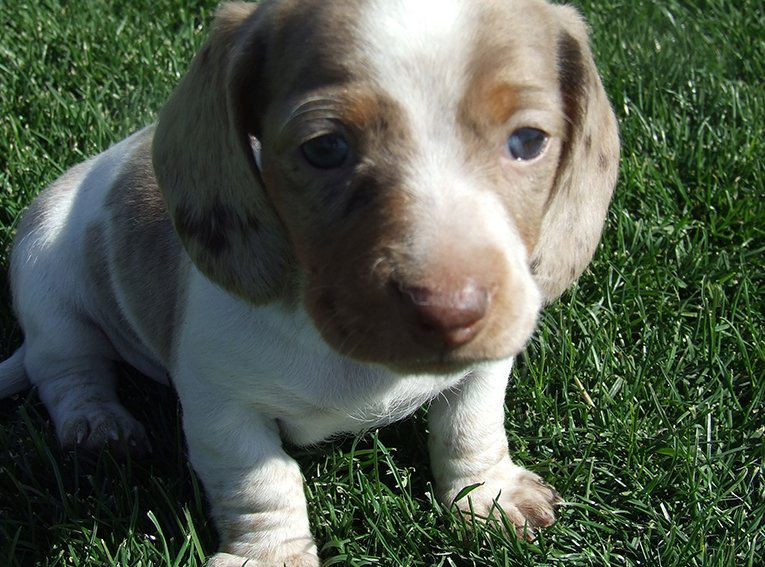 Tan and white puppy on grass