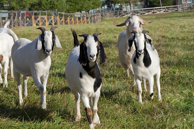 Group of domestic goats walking