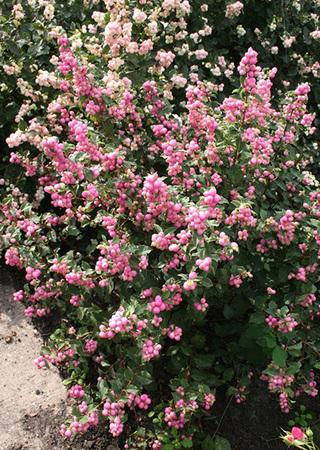 Pink Weigelia