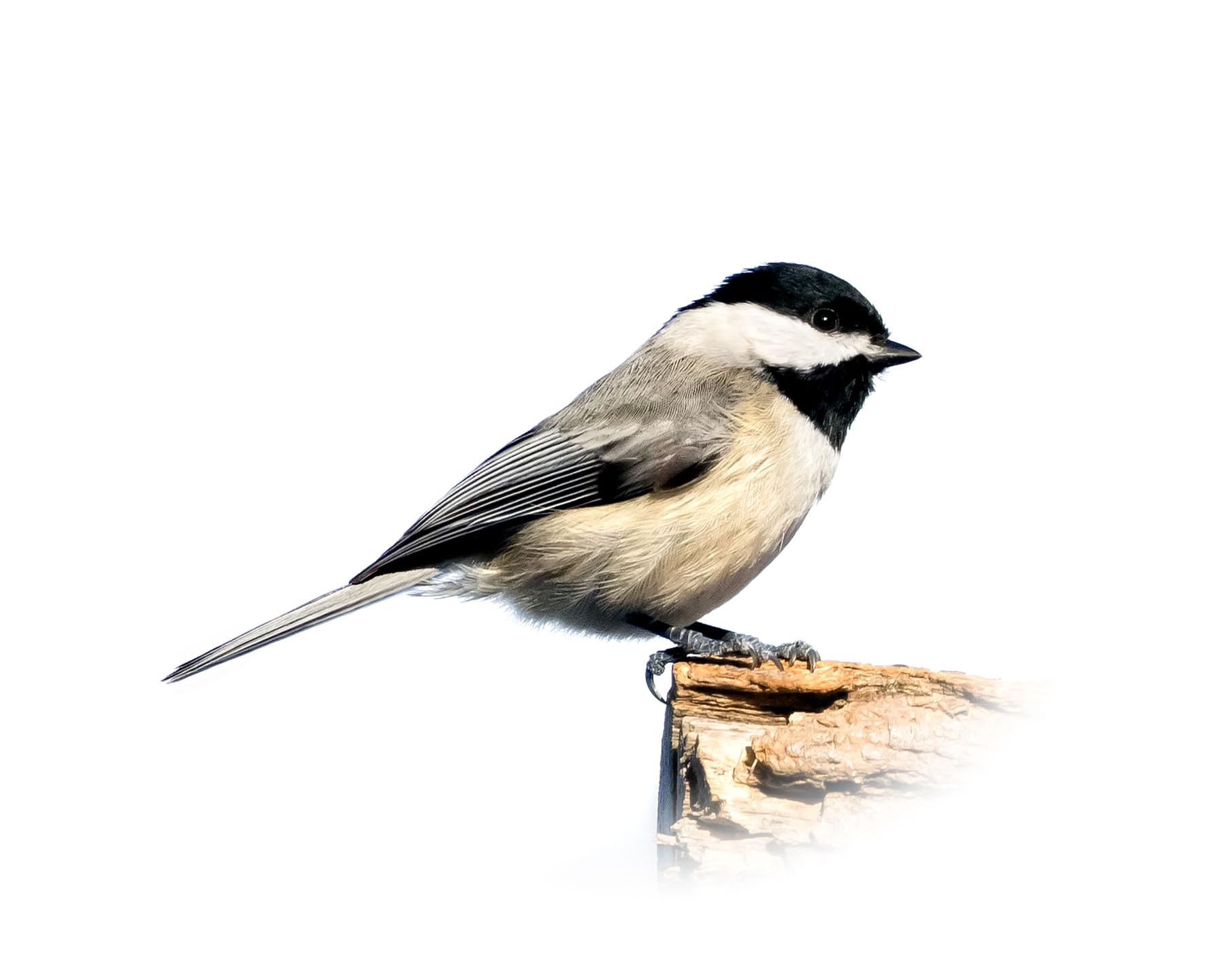 Chickadee 9