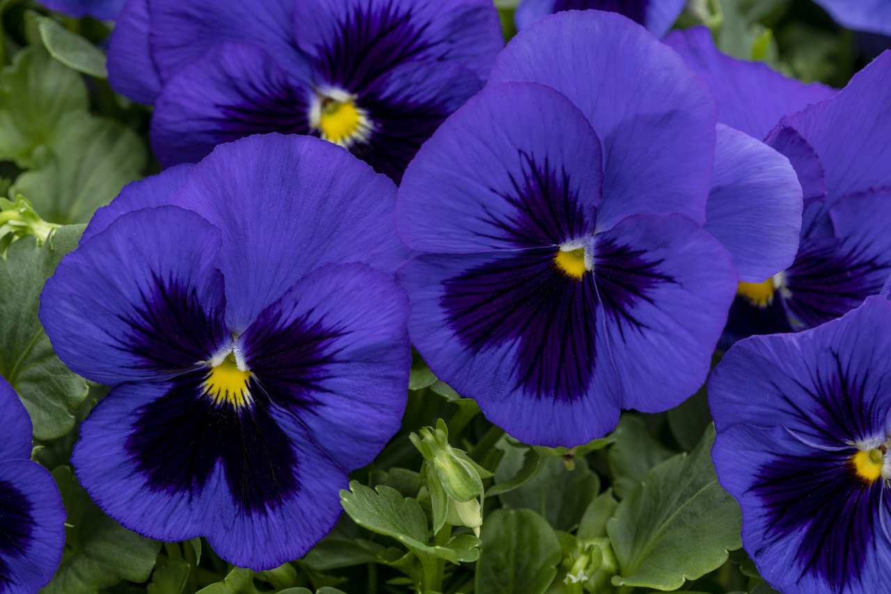 Pansy Grandio Spring Blue with Blotch