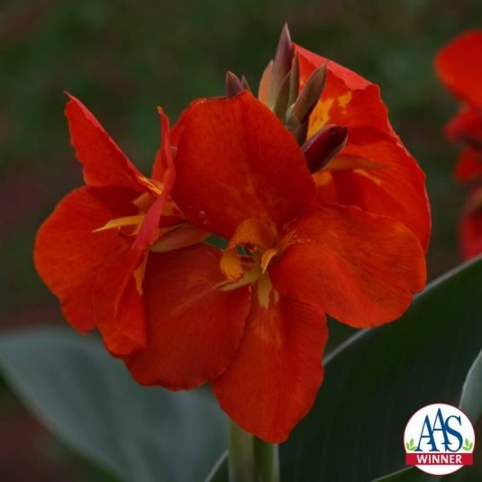 South Pacific Scarlet