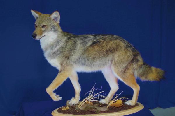 coyote-walking-standard-base