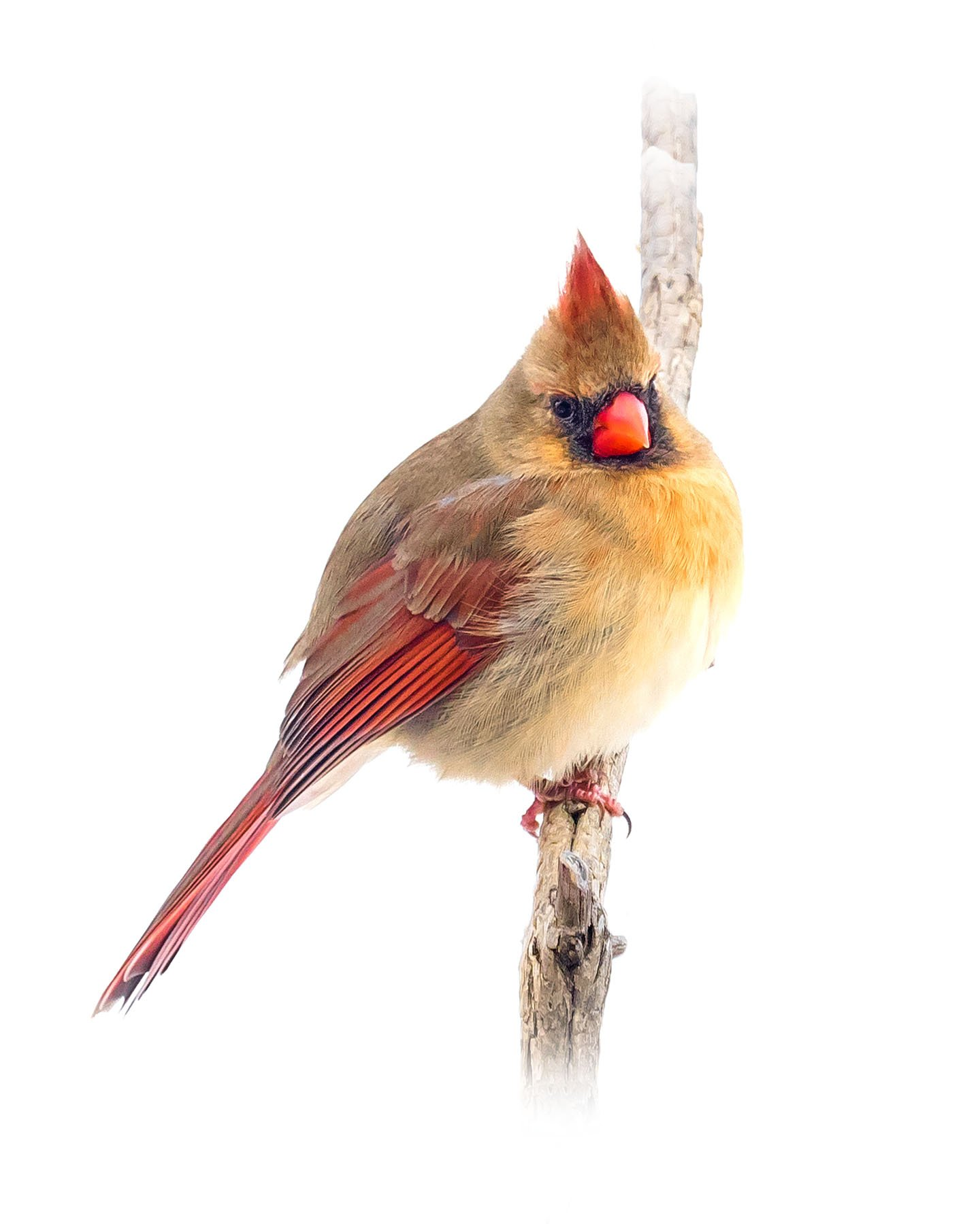 Northern Cardinal female 14