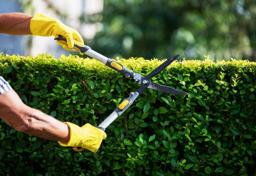 Gardener Trimming Hedge