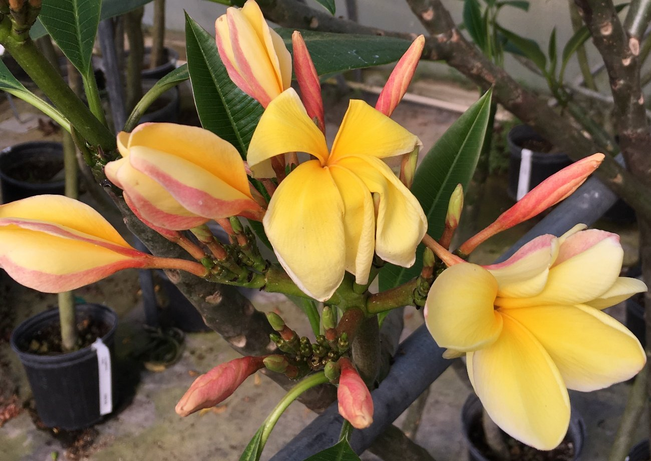 Plumeria Yellow