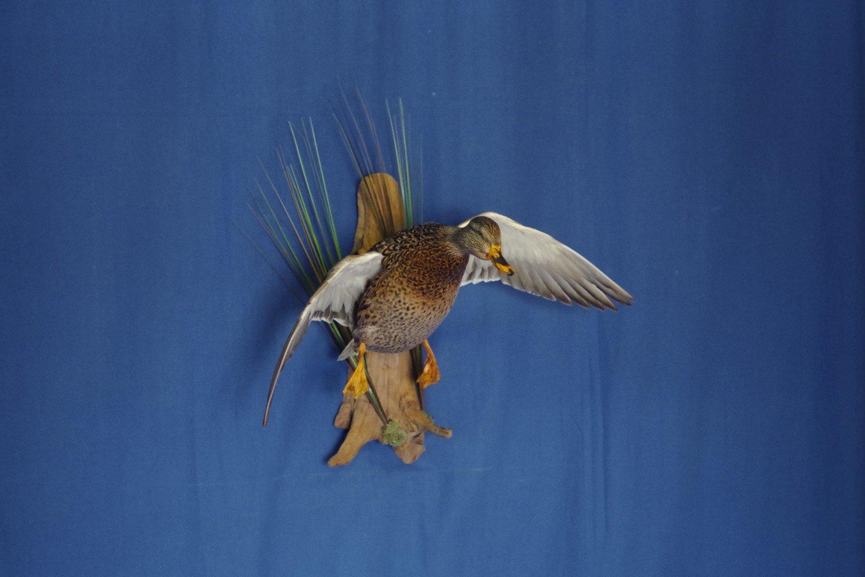 hen-mallard-flying