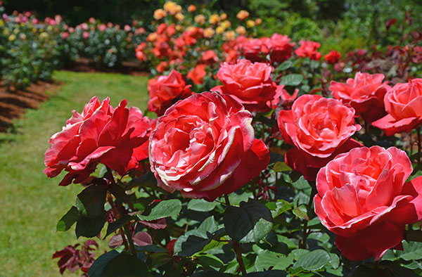 Beautiful pink summer roses