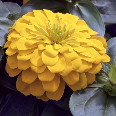 Magellan Yellow