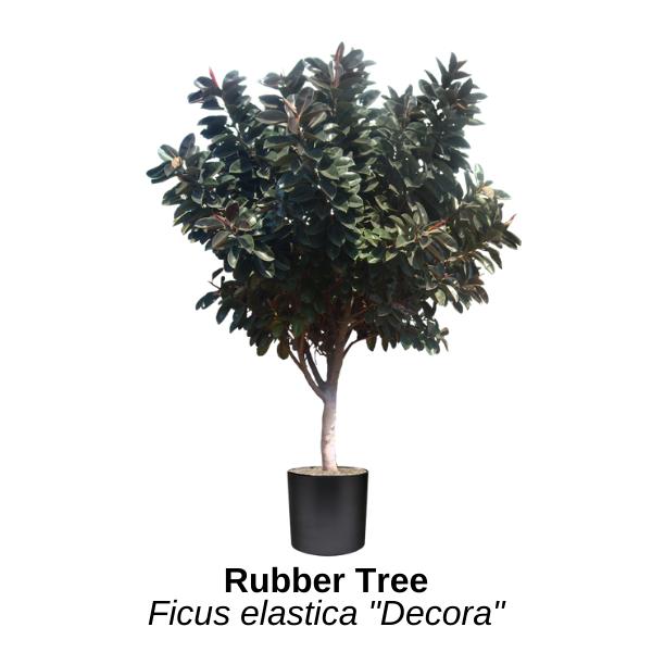 https://0201.nccdn.net/1_2/000/000/0db/11d/rubber-tree.png
