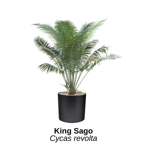 https://0201.nccdn.net/1_2/000/000/0dc/ca7/king-sago.png
