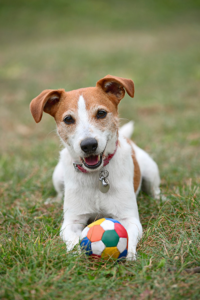 Parson Jack Russell terrier playing