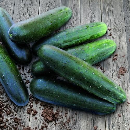 Cucumber SV 4719 CS