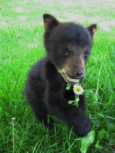 bear-cub-done-for-nature-center