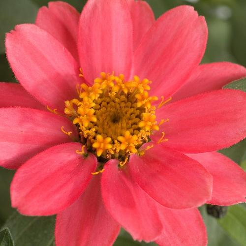 Profusion Coral Pink