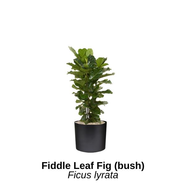 https://0201.nccdn.net/1_2/000/000/0df/5df/fiddle-leaf-fig-bush.png