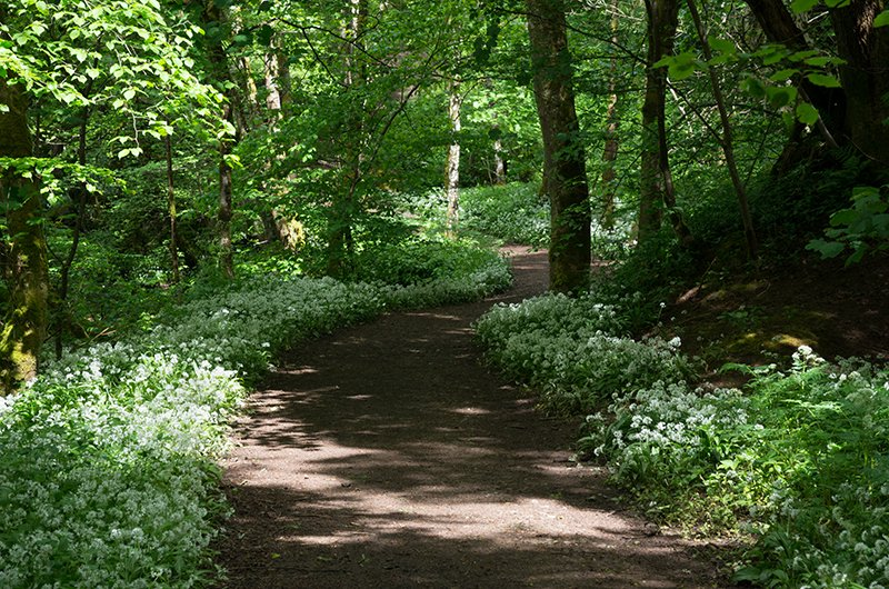 Wild garlic in lovers' walk, Crieff