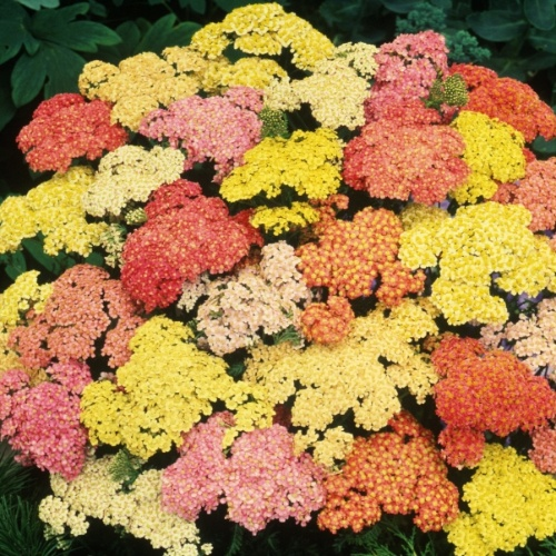 Achillea Summer Pastels Mix