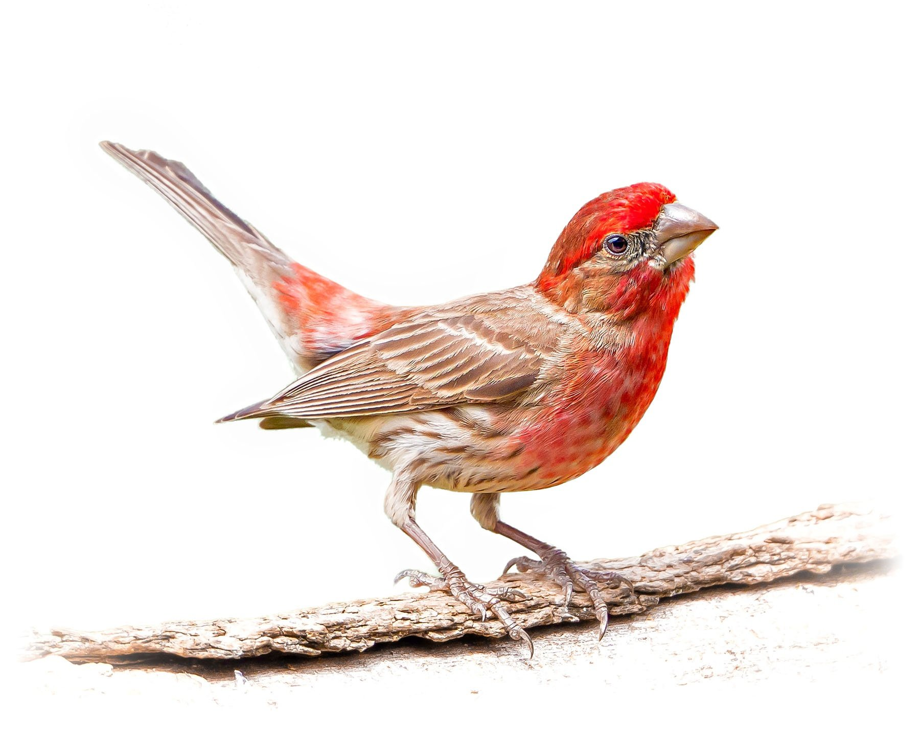 House Finch 12