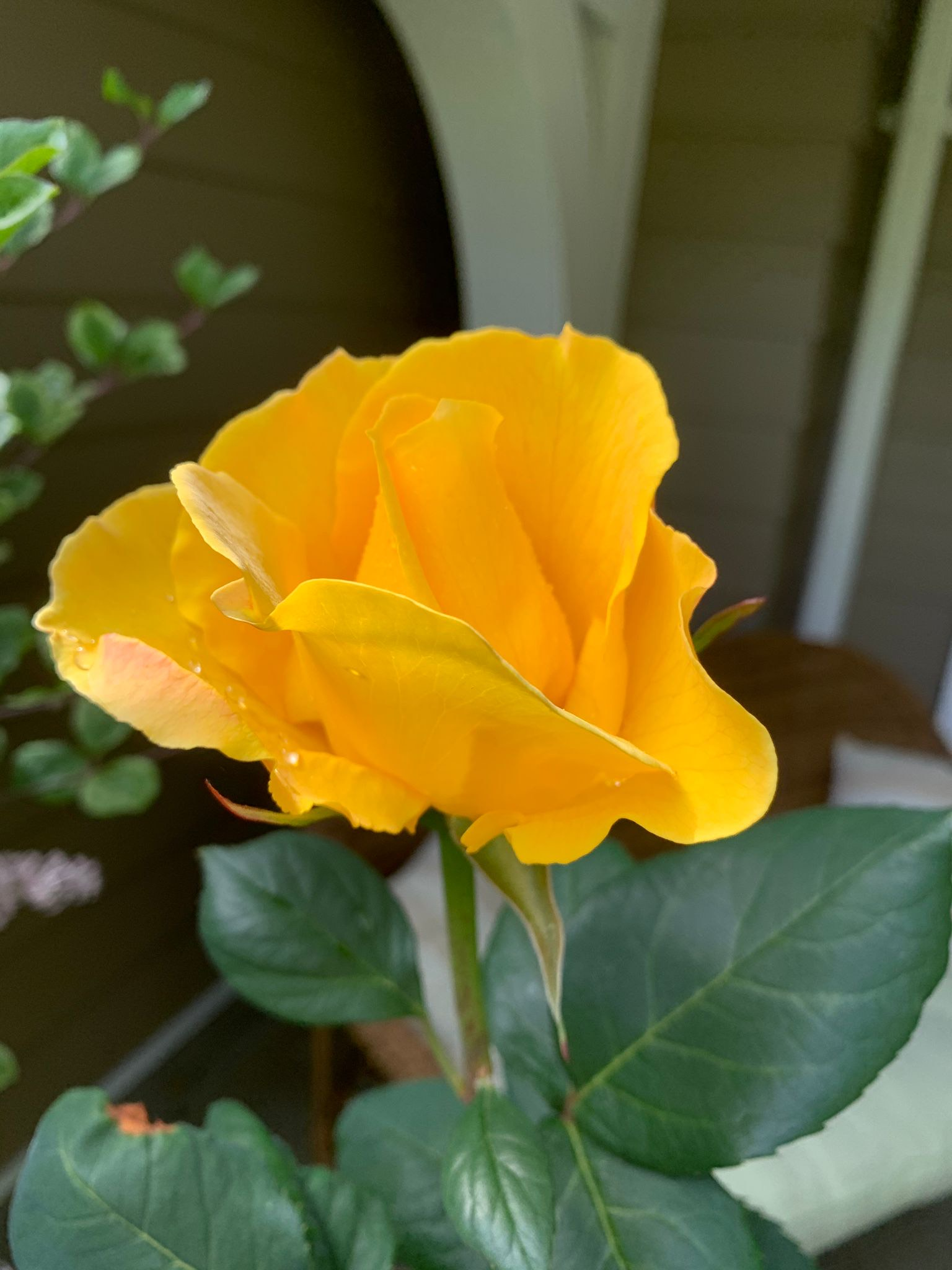An 'unknown' hybrid tea in John's garden which he thinks may be 'Oregold'.