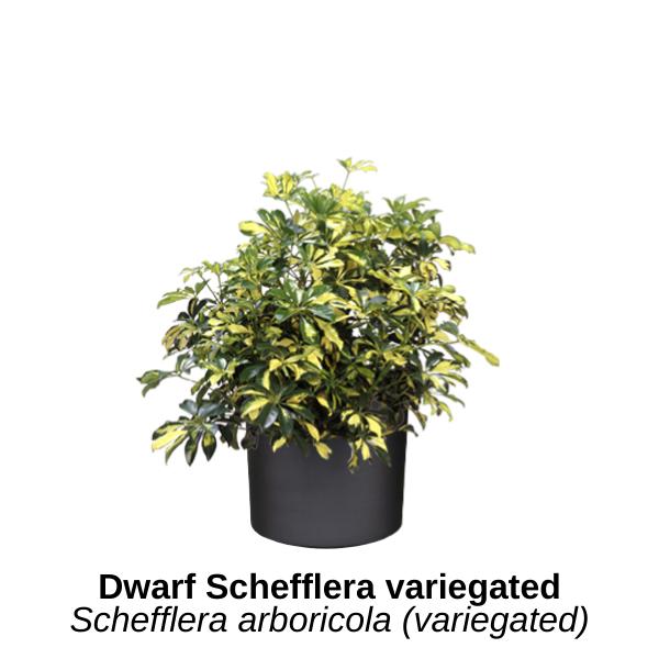 https://0201.nccdn.net/1_2/000/000/0e5/4b4/dwarf-schefflera-variegated.png