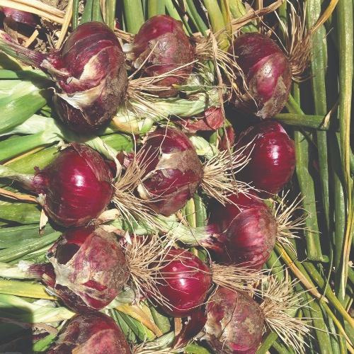 Onion Red Hunter