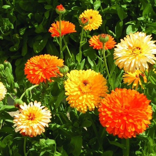 Calendula Pacific Beauty Mix