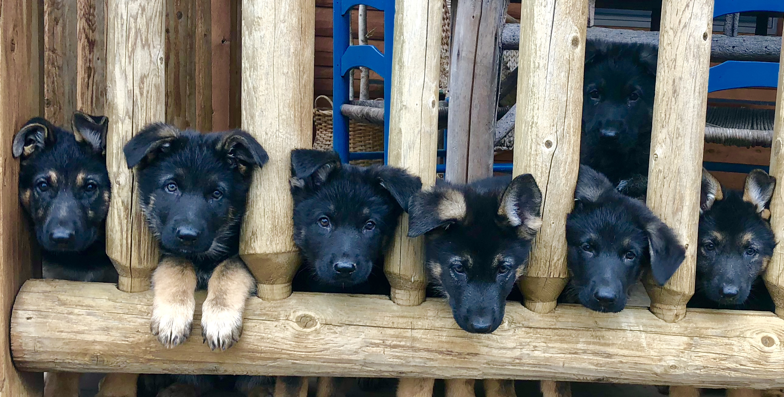 Seven Puppies In Wooden Cage