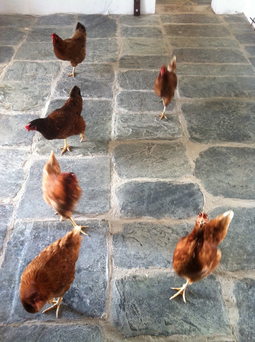 Six russet colored chickens walking on a grey flagstone floor in a white room.