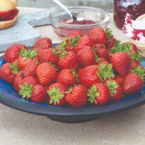 Strawberry Delizz F1
