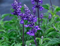 Evolution Series Salvia