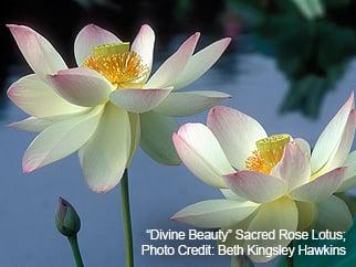 """Divine Beauty"" Sacred Rose Lotus; Photo  Credit: Beth Kingsley Hawkins"