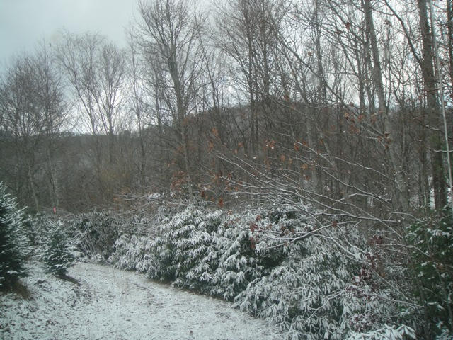 Snow covered Rhododendrons line the farm.